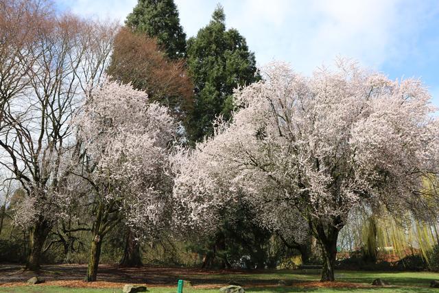 News Alert 25 000 Trees In Flower Across Portland Urban