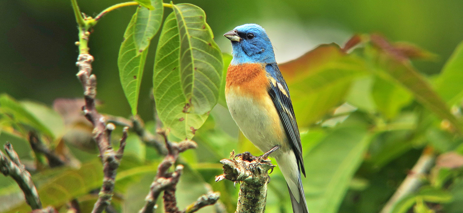 Lazuli Bunting at Powell Butte Nature Park by Steve Berliner