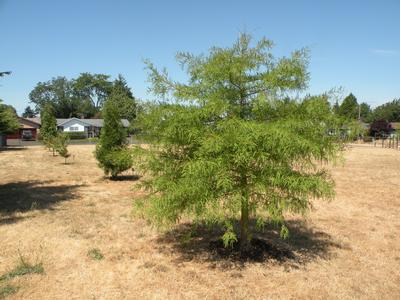 Bald cypress at Meek School.