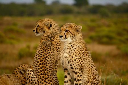 A pair of cheetahs looking for the accessible entrance