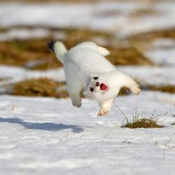 We could celebrate by jumping around, like this happy white stoat (a short-legged, stubby-tailed rodent that looks kind of like a guinea pig). Image from reddit.com