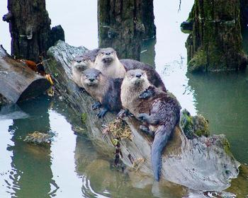 River otters by Tom Nelson