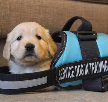 "Tiny golden retriever puppy sitting in a harness way too big for it. The harness says ""service dog in training."""