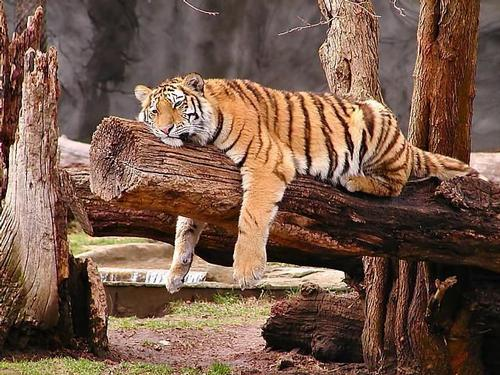 Tiger lounging with its eyes half closed on a log. It paws are hanging down on either side of the log.