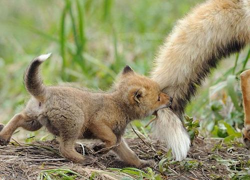 A photo of a tiny baby fox using its mouth to grab a bigger fox's tail. We can only see the back end of the bigger fox. Let's follow them! I bet they can lead us through the grass to paths of digital access. boredpanda.com