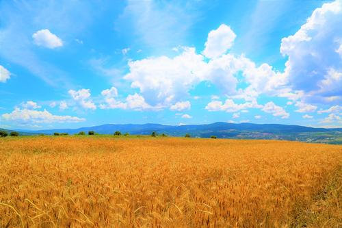 This field of golden wheat under a blue sky dotted with clouds reminds us that we need to intentionally sift information, just like we sift wheat, to get useful resources. Image by Konevi from Pixabay