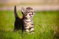"Fact: This tiny gray kitten with gray stripes on their white front has their eyes scrunched closed and mouth wide open, tongue showing. They're standing on bright green grass. Opinion: This kitten looks extremely satisfied in this grass, as if they're thinking, ""ah, yes, that's it."" That's how we'll feel when we find just the right resources."