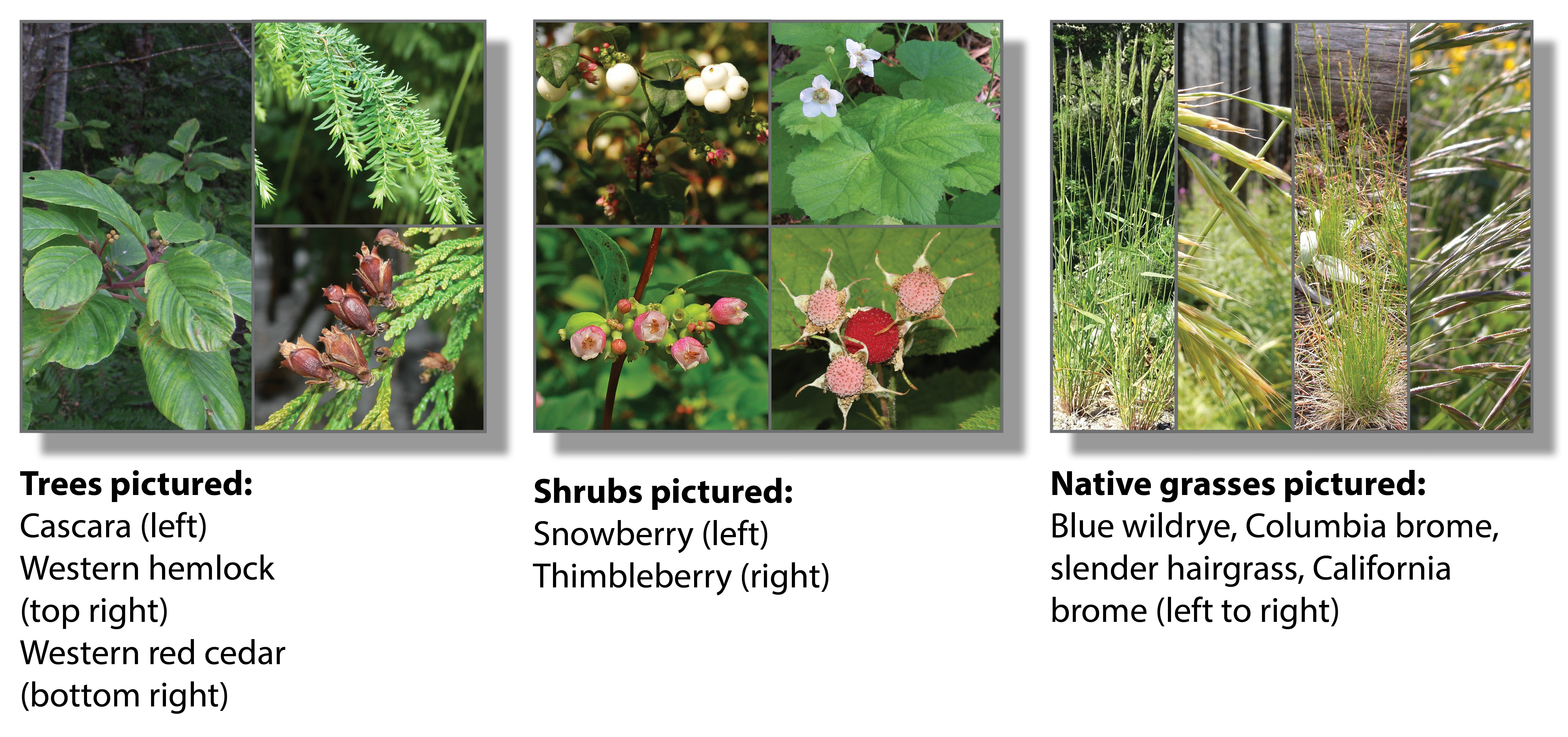 Photos of native plants to be installed: Cascara, Western hemlock, Western red cedar, snowberry, thimbleberry, blue wildrye, Columbia brome, California brome, slender hairgrass