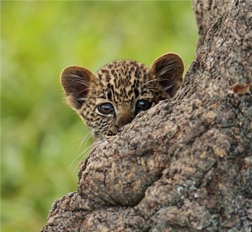 [Staff came out from hiding, just like this baby leopard peeking out from behind a gnarly tree trunk. Dailysquee.co
