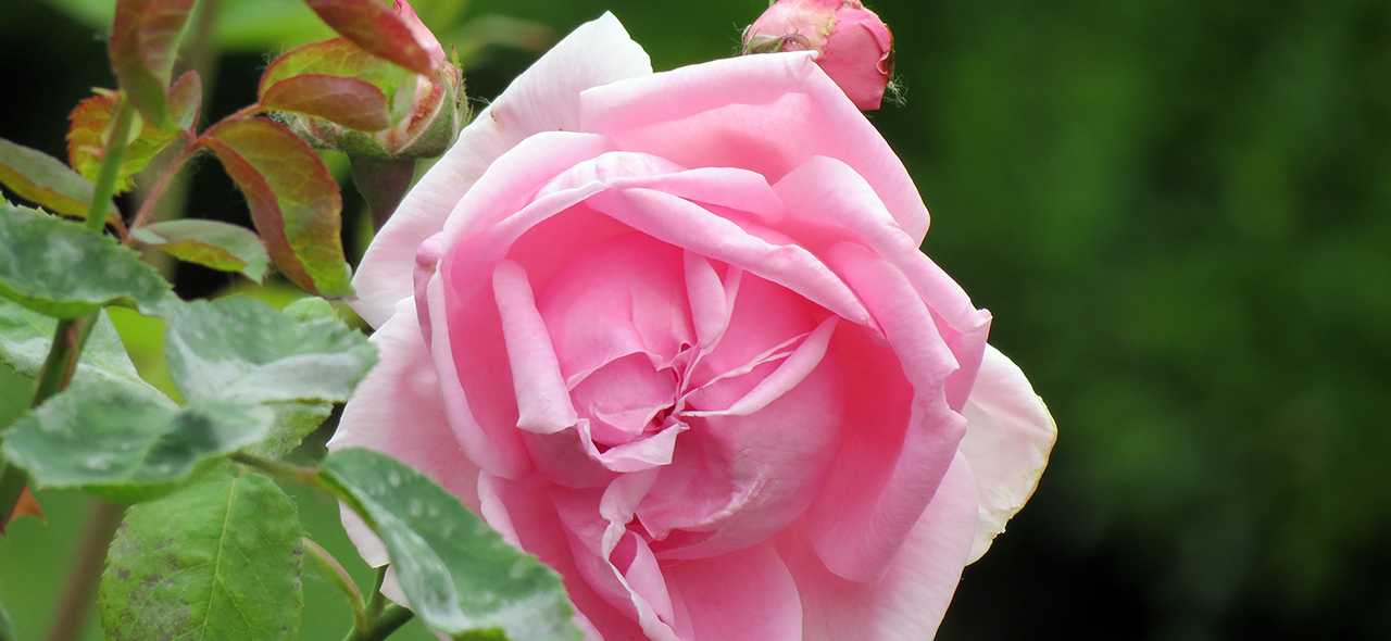 Photo of pink rose in bloom with green leaves