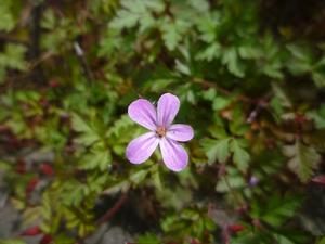 Close up photo of the pink flower of an Herb Robert geranium