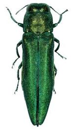 Photo of adult emerald ash borer
