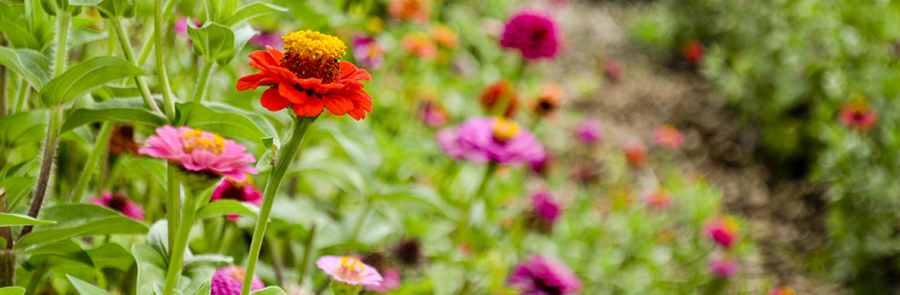 Red, pink, and orange flowers growing in a green garden